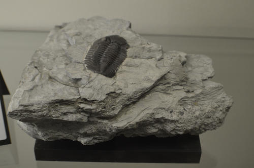 Devonian.  Silica Formation.  Trilobites comprise a complex and huge clade of arthropods with estimates of number of species exceeding 15,000. The Devonian was punctuated by periods of rising seas that disrupted the reef systems where the trilobites flourished, forcing selective adaptation.